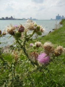 A wild thistle grows